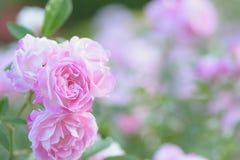 Macro texture des pétales roses de fleur de Rose Photos stock