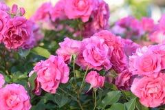 Macro texture des pétales roses de fleur de Rose Photographie stock libre de droits