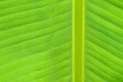 Macro texture of fresh green summer Banana leaf details Stock Image