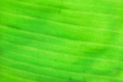 Macro texture of fresh green summer Banana leaf details Stock Images