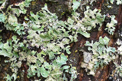 Macro texture of green Lichen on tree bark during summer in Aust Stock Images