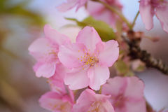 Macro texture of Japanese pink cherry blossoms Stock Images