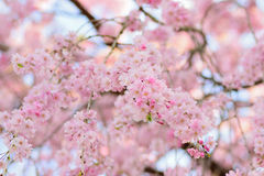 Macro texture of Japanese pink cherry blossoms Stock Image