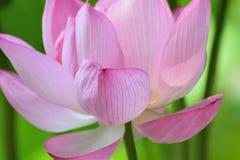 Macro texture of Japanese Pink Lotus flower horizontal frame. Macro texture of Japanese Pink Lotus flower with sunshine in horizontal frame Stock Image