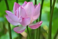 Macro texture of Japanese Pink Lotus flower horizontal frame. Macro texture of Japanese Pink Lotus flower with sunshine in horizontal frame Royalty Free Stock Photography