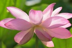 Macro texture of Japanese Pink Lotus flower horizontal frame. Macro texture of Japanese Pink Lotus flower with sunshine in horizontal frame Stock Photography