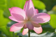 Macro texture of Japanese Pink Lotus flower horizontal frame. Macro texture of Japanese Pink Lotus flower with sunshine in horizontal frame Royalty Free Stock Photos