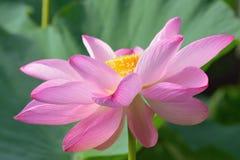 Macro texture of Japanese Pink Lotus flower horizontal frame. Macro texture of Japanese Pink Lotus flower with sunshine in horizontal frame Royalty Free Stock Photo