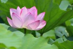 Macro details of Japanese Pink Lotus flower horizontal frame. Macro texture of Japanese Pink Lotus flower at Pond waters Royalty Free Stock Images