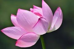 Macro texture of Japanese Pink Lotus flower horizontal frame. Macro texture of Japanese Pink Lotus flower with sunshine in horizontal frame Stock Photo