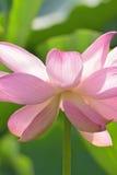 Macro texture of Japanese Pink Lotus flower vertical frame. Macro texture of Japanese Pink Lotus flower with sunshine in vertical frame Stock Photo