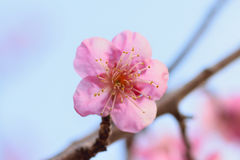 Macro texture of Japanese Pink Plum blossoms in sunshine Royalty Free Stock Photos