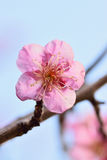 Macro texture of Japanese Pink Plum blossoms in sunshine Stock Photography