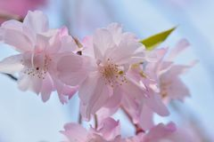 Macro texture of Japanese Pink Weeping Cherry Blossoms. In horizontal frame Royalty Free Stock Photos