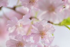 Macro texture of Japanese Pink Weeping Cherry Blossoms. In horizontal frame Stock Photos
