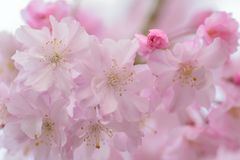 Macro texture of Japanese Pink Weeping Cherry Blossoms. In horizontal frame Royalty Free Stock Photo