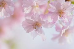 Macro texture of Japanese Pink Weeping Cherry Blossoms. In horizontal frame Stock Image