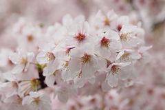 Macro texture of Japanese white cherry blossoms Stock Photography