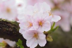 Macro texture of Japanese white cherry blossoms Stock Photos