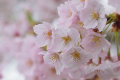 Macro texture of Japanese white cherry blossoms Royalty Free Stock Photo