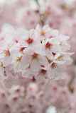 Macro texture of Japanese white cherry blossoms Royalty Free Stock Photography
