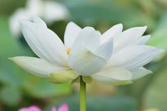 Macro texture of Japanese White Lotus flower. In horizontal frame Stock Photo