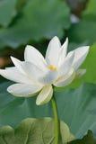 Macro texture of Japanese White Lotus flower. In vertical frame Royalty Free Stock Photos