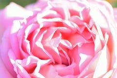 Free Macro Texture Of Pink Rose Flower Petals Stock Photos - 115926243