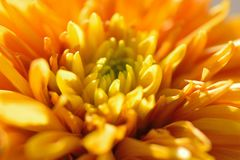 Macro texture of orange colored Dahlia flower petals Stock Photos