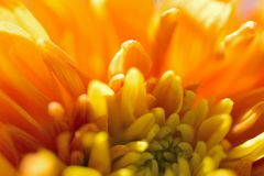 Macro texture of orange colored Dahlia flower petals Stock Photography