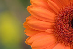 Macro texture of orange colored daisy flower surface with dews Royalty Free Stock Photos