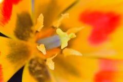 Macro texture of orange & yellow colored Burgundy Lily in horizontal frame Stock Photos
