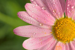 Macro texture of pink colored daisy flower surface with water droplets Royalty Free Stock Photography