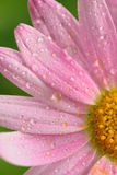 Macro texture of pink colored daisy flower surface with water droplets Stock Photos