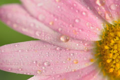 Macro texture of pink colored Daisy flowers with water droplets Royalty Free Stock Images