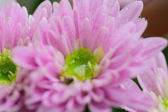 Macro texture of pink Dahlia flower petals with water droplets Royalty Free Stock Photo