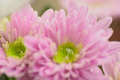 Macro texture of pink Dahlia flower petals with water droplets Stock Photos
