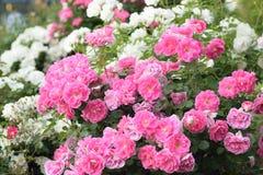 Macro texture of pink Rose flower petals. In horizontal frame stock image