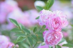 Macro texture of pink Rose flower petals. In horizontal frame stock photos
