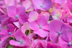 Macro texture of purple colored Hydrangea flowers. In horizontal frame Stock Images