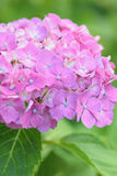 Macro texture of purple colored Hydrangea flowers. In vertical frame Royalty Free Stock Images