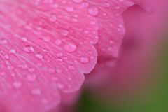 Macro texture of rain droplets on pink Hibiscus flower. Surface Royalty Free Stock Photos
