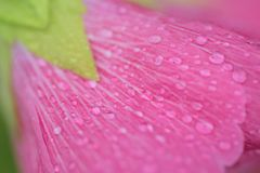 Macro texture of rain droplets on pink Hibiscus flower. Surface Stock Photo