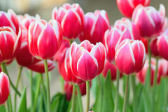 Macro texture of red & white tulip flowers royalty free stock images