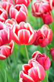 Macro texture of red & white tulip flowers Stock Images