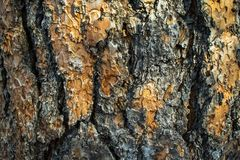 Macro Texture of a Sap Riddled Pine Tree royalty free stock photography