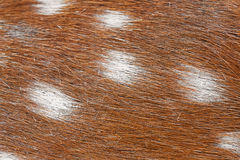 Macro texture of spotted deer fur Royalty Free Stock Photos