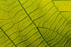 Macro texture of tree leaf for backgound Royalty Free Stock Photo