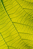 Macro texture of tree leaf for backgound Royalty Free Stock Photography
