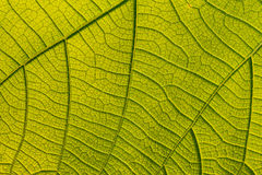 Macro texture of tree leaf for backgound Stock Photography